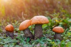 Подосиновик апельсин-крышки гриба леса в траве Стоковая Фотография