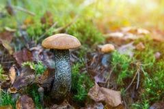 Подосиновик апельсин-крышки гриба леса в траве Стоковое Фото