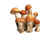 Подосиновик апельсин-крышки гриба и подосиновик Стоковые Изображения RF