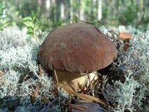 Подосиновик в лесе сосны Стоковые Фото