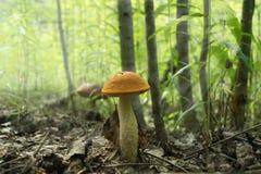 Подосиновик гриба в лесе искупал в естественном свете Стоковые Изображения