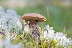 Подосиновик гриба в крупном плане травы леса Лекцинум Стоковая Фотография