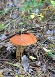 Подосиновик гриба в траве Стоковые Фото