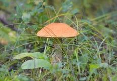 Подосиновик гриба растя в траве в лесе Стоковая Фотография