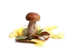 Подосиновик гриба Стоковое Изображение RF