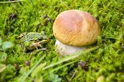 Подосиновик грибков гриба и зеленая лягушка на мхе Стоковые Изображения RF