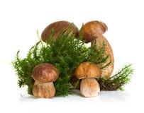 Подосиновик, гриб CEP на мхе леса изолированном на белизне Стоковое Фото