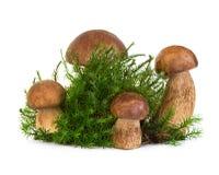 Подосиновик, гриб CEP на мхе леса изолированном на белизне Стоковые Изображения RF