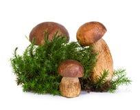 Подосиновик, гриб CEP на мхе леса изолированном на белизне Стоковое Изображение RF