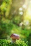 Подосиновик или CEP гриба в мхе леса осени Стоковые Фотографии RF