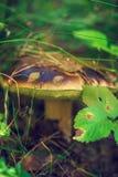 Подосиновик или CEP гриба в мхе леса осени Стоковое фото RF