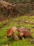 Подосиновик edulis в лесе осени Стоковое Изображение