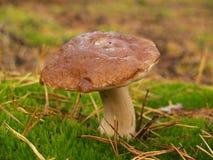 Подосиновик edulis в лесе осени Стоковые Изображения