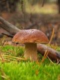 Подосиновик edulis в лесе осени Стоковые Изображения RF