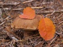 Подосиновик edulis в лесе осени Стоковые Фотографии RF