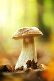 Подосиновик edulis в лесе Стоковая Фотография RF