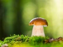 Подосиновик edulis в лесе Стоковая Фотография