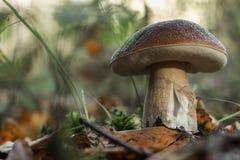 Подосиновик edulis в конце леса вверх по взгляду Мглистая предпосылка Стоковые Фотографии RF