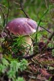 Подосиновик edulis или CEP, плюшка пенни, porcino, bolete короля Гриб в it& x27; среда обитания s естественная Грибы в лесе осени Стоковое Изображение RF