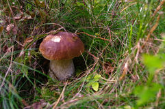 Подосиновик edulis или CEP, плюшка пенни, porcino, bolete короля Гриб в it& x27; среда обитания s естественная Грибы в лесе осени Стоковое Фото