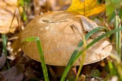 Подосиновик edulis или porcino плюшки пенни CEP или bolete короля Стоковое Фото