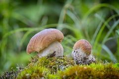 Подосиновик edulis съестной гриб Стоковое Изображение
