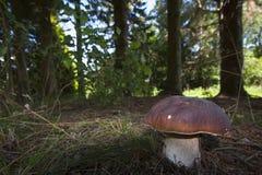 Подосиновик edulis, porcini в лесе, Вогезы, Франция Стоковое Фото