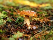 Подосиновик edulis - porcino Стоковые Изображения