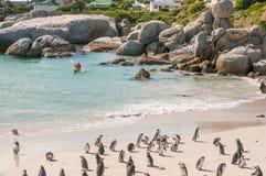 Полоскать с каное на колонии пингвина валунов Стоковая Фотография RF
