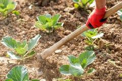 Полоть с сапкой в полях капусты Стоковая Фотография RF