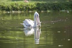 Подпертая пинком рыбная ловля пеликана Стоковое фото RF
