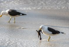 Подпертая чернотой чайка келпа есть пингвина младенца Стоковая Фотография