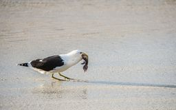 Подпертая чернотой чайка келпа есть пингвина младенца Стоковые Изображения