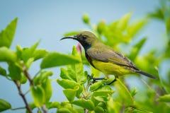 подпертое прованское sunbird Стоковая Фотография RF