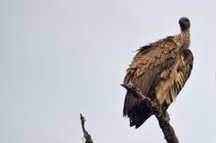 подпертое africanus gyps белизна хищника Стоковая Фотография