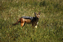 подпертый черный jackal Стоковая Фотография RF