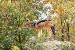 подпертый черный jackal Стоковые Изображения RF