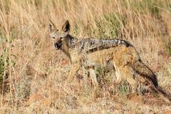 подпертый черный jackal Стоковые Фото