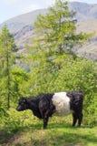 Подпоясанная корова Galloway на горном склоне Стоковое фото RF