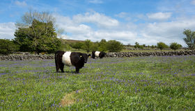 Подпоясанная корова galloway. Стоковые Изображения RF