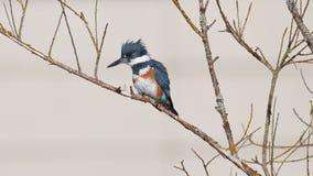 Подпоясанный Kingfisher на ветви Стоковые Изображения RF