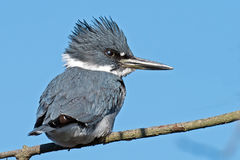 подпоясанный kingfisher Стоковое Фото