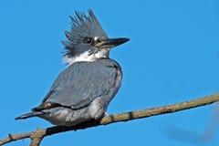 подпоясанный kingfisher Стоковая Фотография