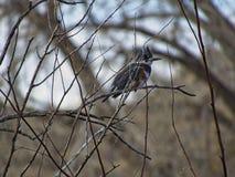 подпоясанный kingfisher Стоковые Фотографии RF