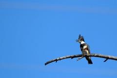Подпоясанный Kingfisher, alcyon Megaceryle Стоковое Фото