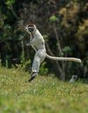 Подпрыгивать Verreaux Sifaka передний и косой в Мадагаскаре Стоковое Фото