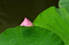 Подрежьте верхнюю часть съемки розового лотоса и зеленых лист Стоковая Фотография