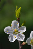 Подрезает цветение Стоковые Изображения RF