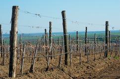 Подрезанные виноградники весной Стоковое фото RF