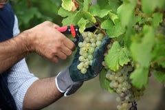 Подрезая виноградины Стоковая Фотография